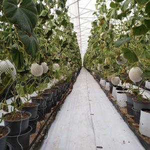 Tư vấn kỹ thuật trồng dưa lưới